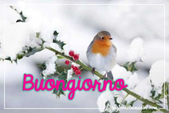 I SALUTI DI FEBBRAIO 2019 - Pagina 3 Uccellino_ramo_pungitopo_neve_1549920173